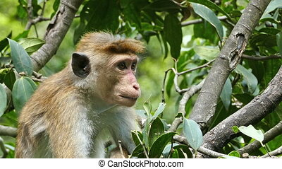 Monkey macaque sitting on tree in Sri Lanka
