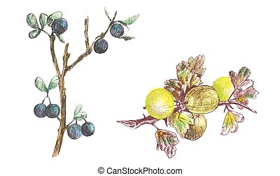 gooseberry and blackthorn - an hand drawing and coloring...
