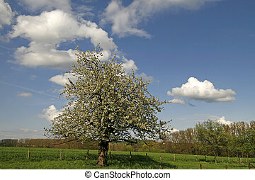 Apple tree in spring, Lower Saxony, Gemany, Europe