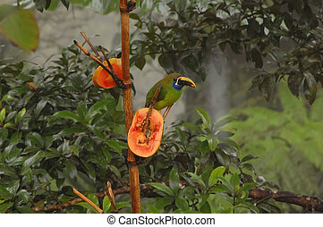 Toucanet on Branch with Mango slices in Costa Rica