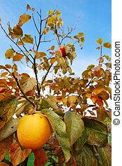 Kaki fruit on its tree - Bright fall colors of a kaki fruit...