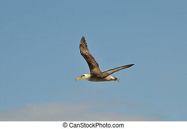 Albatroz, voando