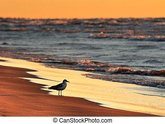 Ring-billed Gull on Lake Huron beach at sunset