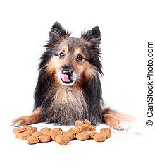 Licking dog - Small Sheltie or Shetland sheepdog licking his...