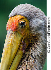 Painted Stork - Close up of a Beautiful Painted Stork...