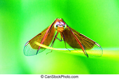 Dragonfly - Extreme Close Up of a Dragonfly looking into the...
