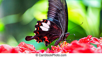 Butterfly - A Butterfly in drinking from red flowers