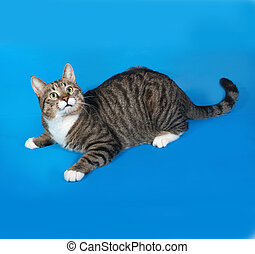Tabby and white cat lying on blue