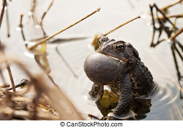 Croaking Bullfrog - Bullfrog calls to mate in pond setting