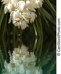 Yucca bloom close up - White flower of a blooming yucca...