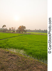 Green rice field and sunset