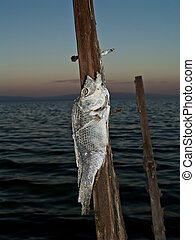 Salton Sea - dead fish on a spike at the Salton Sea