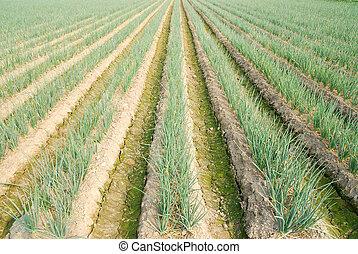 verde, cebola, fazenda