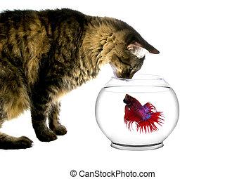 Cat Looking at a Fish Bowl - main coon cat intimidating a...