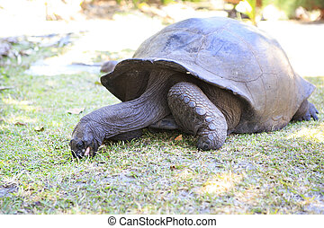 Aldabra giant tortoise eats grass in island Curieuse...