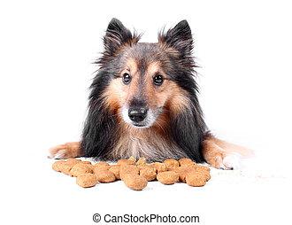 Eating dog - Small Sheltie or Shetland sheepdog sitting with...