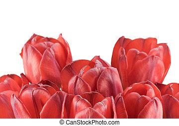 Tulpen, weißes, Freigestellt, hintergrund, rotes