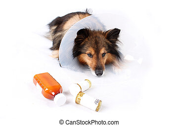 Sick dog - Sick Sheltie or Shetland sheepdog with dog cone...