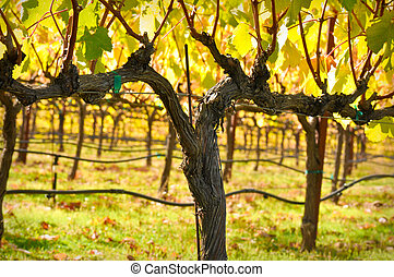Vineyard - Beautiful Vineyard in Fall