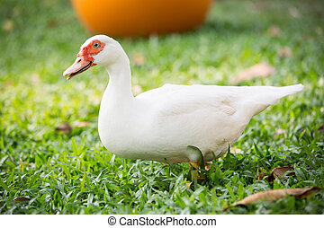 Muscovy duck in farm