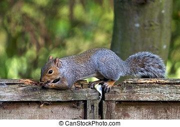 Squirrel on the fence - A grey squirrel balances on top of a...