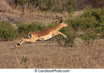 Impala Jumping to avoid being caught in greater kruger park