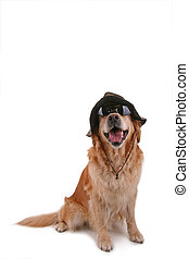 funny disguised dog - golden retriever disguised with hat...