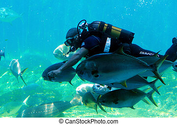 diver with fish - a scuba diver in tank feeding fish