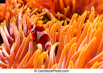 anemone - a clown fish swimming through the sea anemone