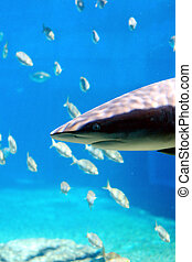 shark and fish - a shark swimming in a tank with lots of...