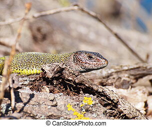 Eastern Green Lizard  in spring, Lacerta viridis