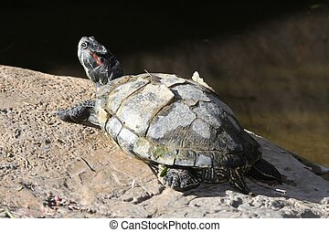 Red-eared Slider Turtle with peeling shell basking on a rock