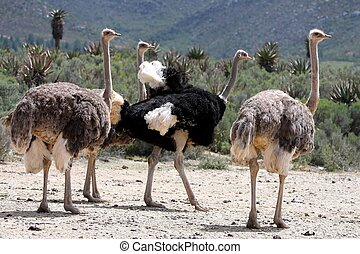 Breeding Ostriches - Handsome male ostrich with beautiful...