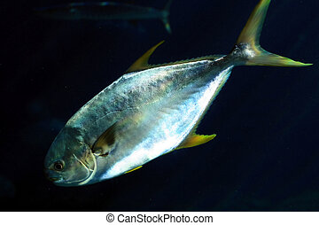 pompano fish - a pompano fish in dark water