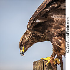 Close up of Russian Steppe Eagle - Close up of a Russian...