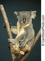 Portrait of male Koala bear sitting on the tree