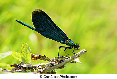 Blue dragonfly - Close-up the dragonfly sitting on a leaf of...