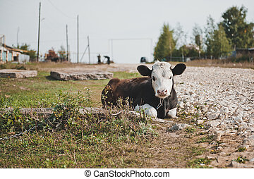 Young bull-calf 2356 - The bull lies on a grass at the road...