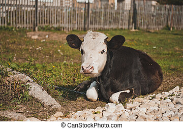 Young bull-calf 2357. - The bull lies on a grass at the...