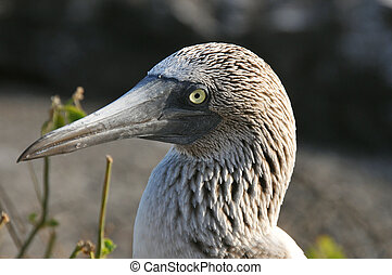 Blue-footed booby head, Galapagos