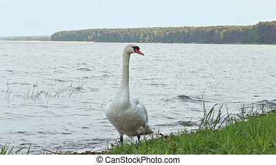 swan bird riverbank river water rural stack waterfowl pond