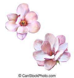 Illustration of a tender pink magnolia flower isolated on white background