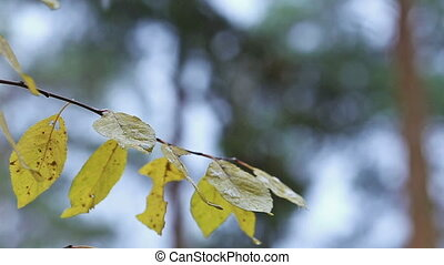 Tree with yellow leaves under rain autumn fall