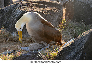 Albatross mother looking over her new born baby chick