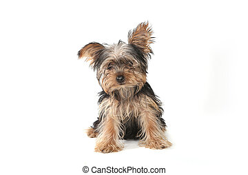 Teacup Yorkshire Terrier on White Background - Adorable...