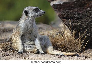 mongoose - a beautiful mongoose