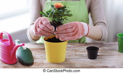 close up of woman hands planting roses in pot - people,...