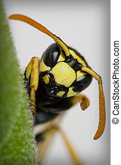 wasp - a macro of an insect, a wasp