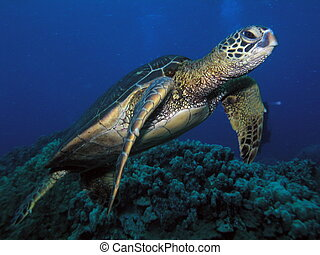 Endangered turtle in Maui - Hawaiian green sea turtle in...