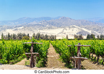Lush Pisco Vineyard in Peru - Lush green vineyard for the...